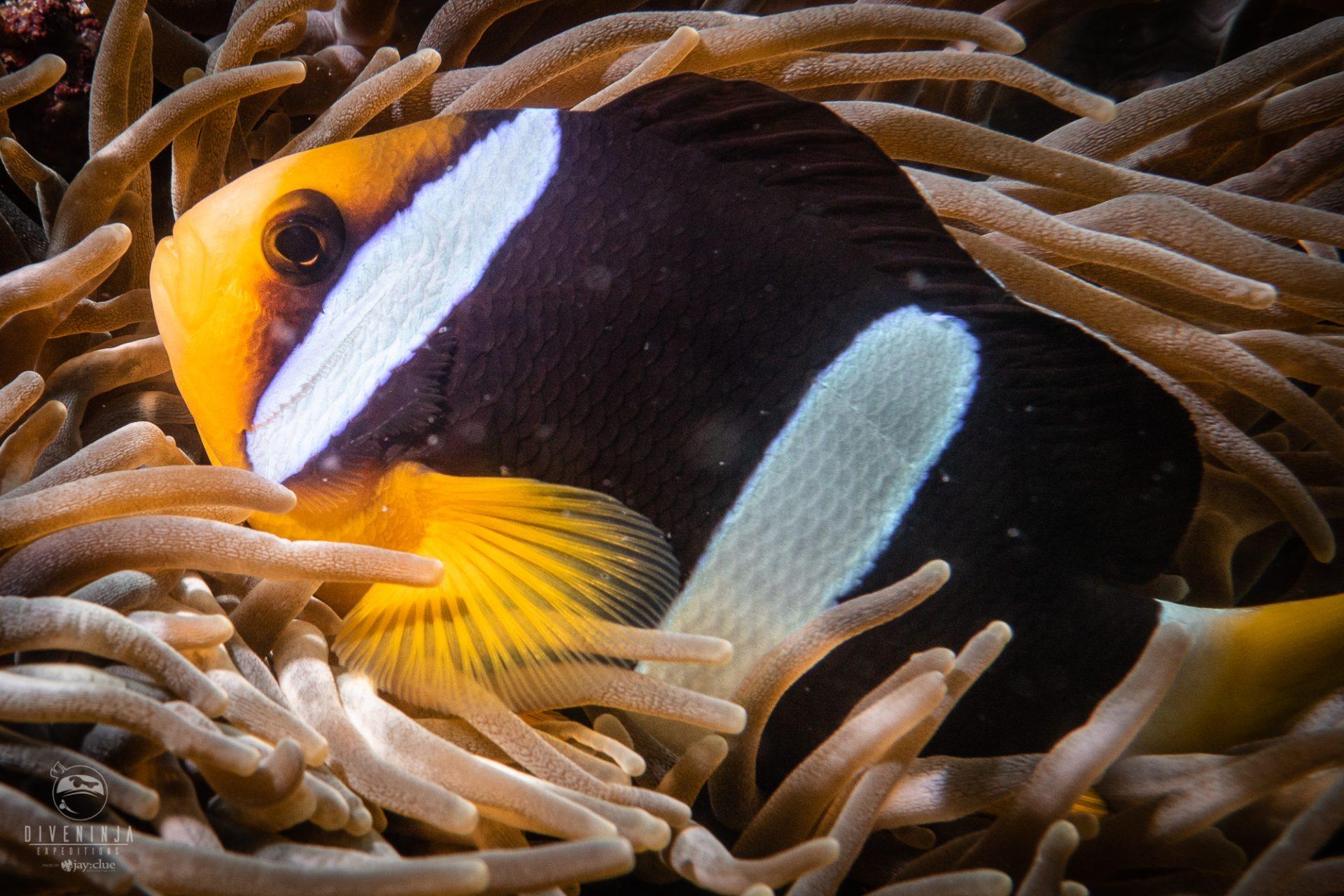 clown anemone fish, Scuba Diving in the Maldives