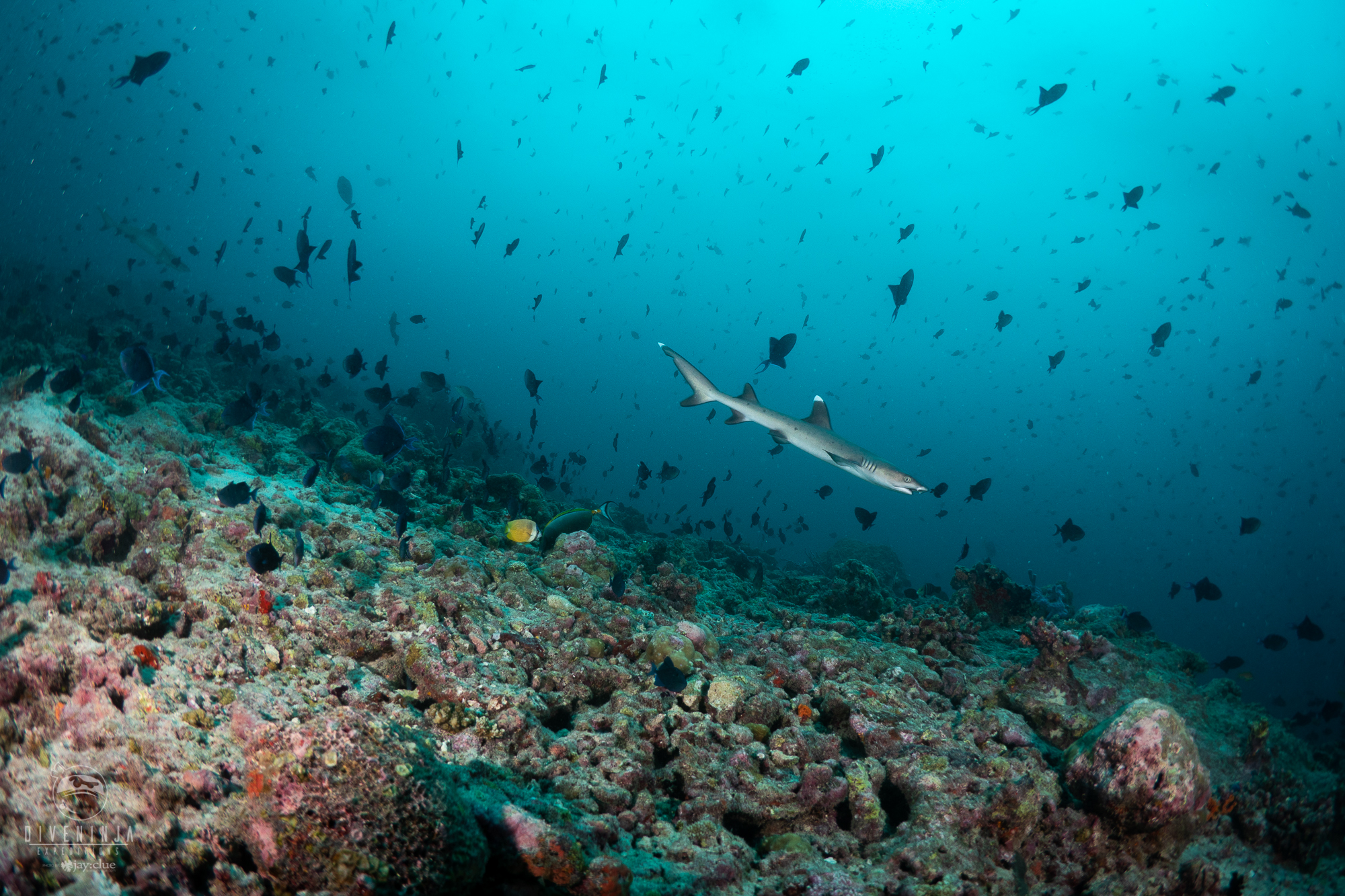 white tip reef shark on a reef in the Maldives