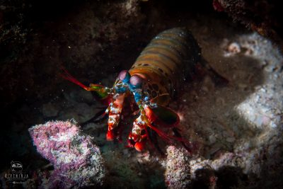 Scuba Diving with peacock mantis shrimp in the Maldives, Aggressor liveaboards