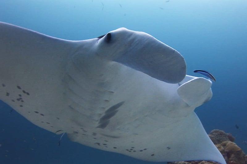 Palau scuba diving mantas
