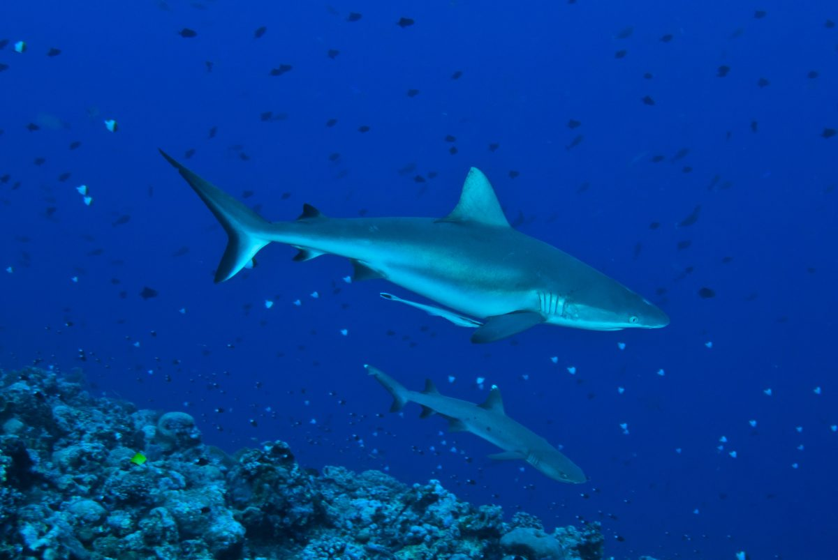 sharks at blue corner in palau
