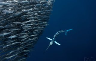 Striped Marlin expedition with Dive Ninja Expeditions & Nakawe P