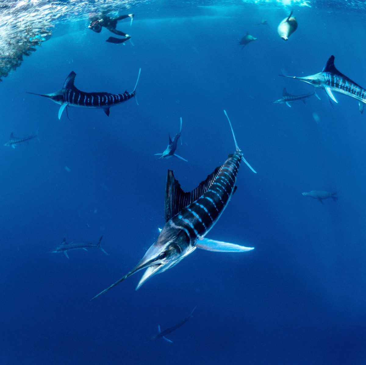 Diving with striped marlin in Mexico