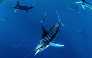 striped marlin expeditions in Mexico