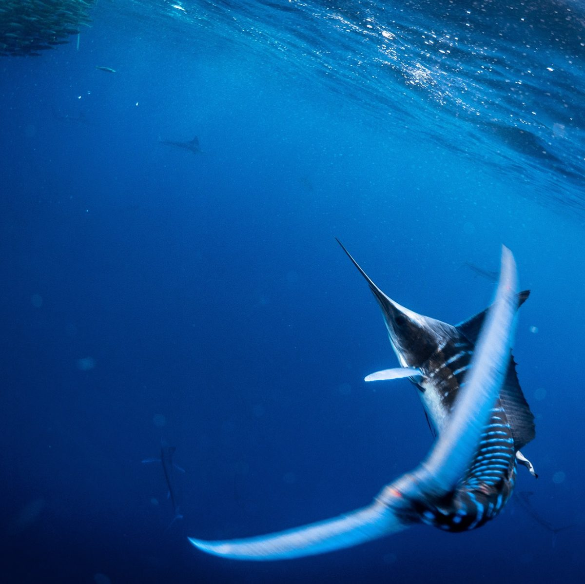 Freedive with striped marlin in mexico