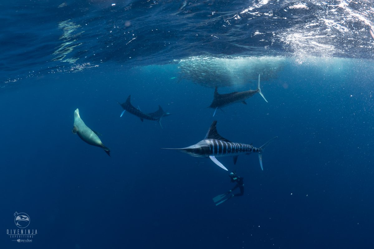 Dive with striped marlin in mexico