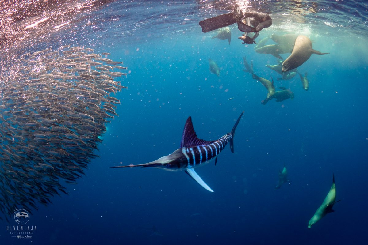 Striped Marlin expedition with Dive Ninja Expeditions & Nakawe Project