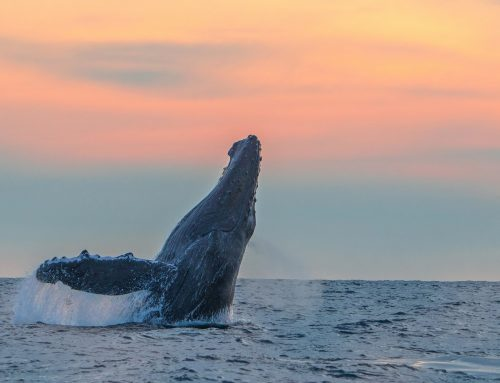 The Humpback Whales of Cabo – a Brief History