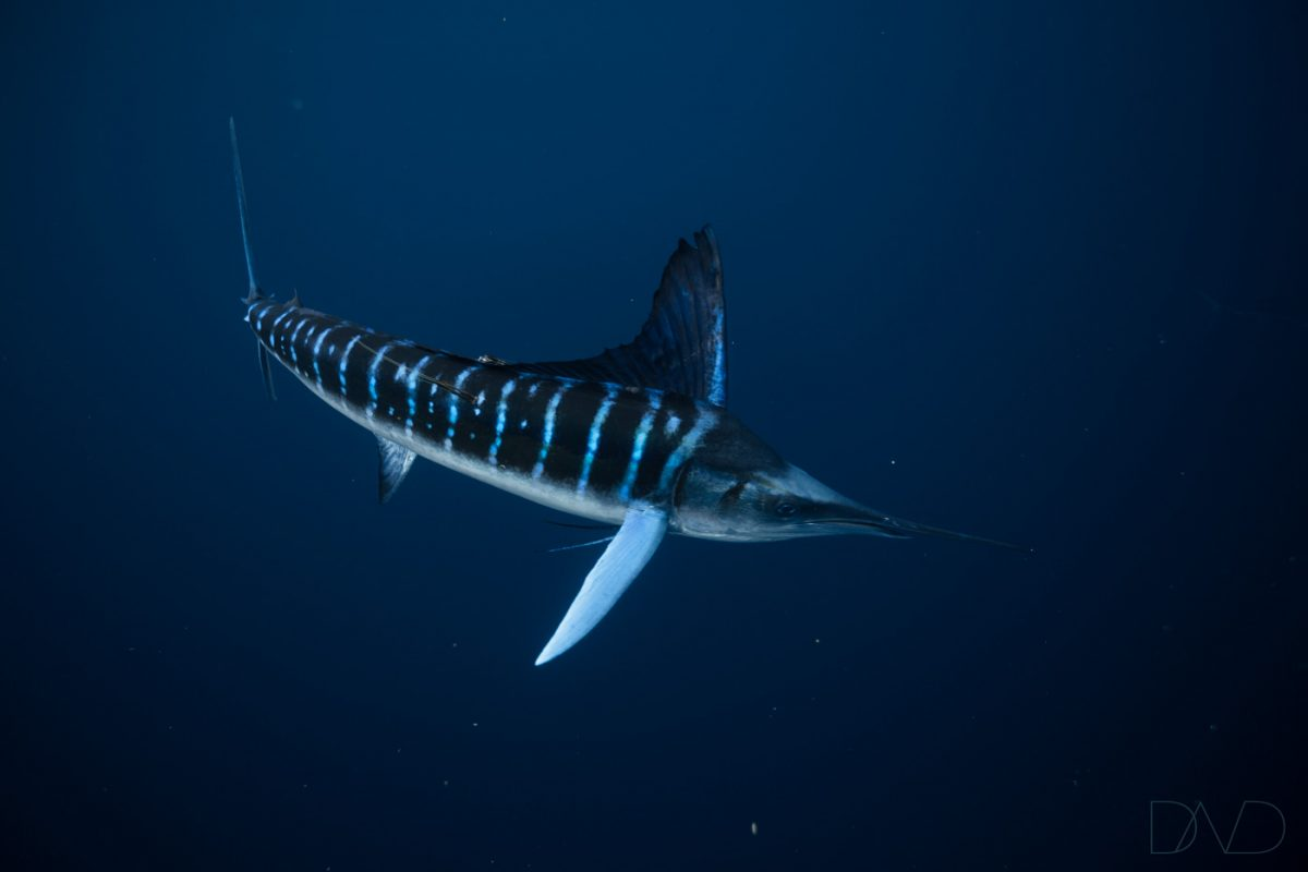 swim with striped marlin in mexico
