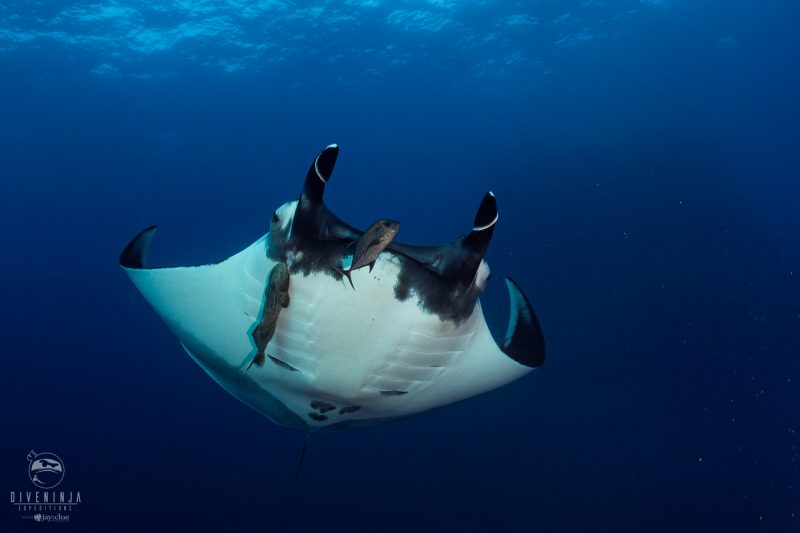 Diving with mantas in Socorro liveaboard