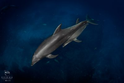 baby dolphin and mother in Socorro Revillagigedo Mexico