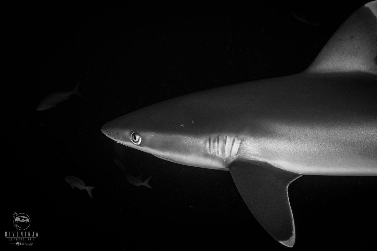 Silvertip shark pup in Revillagigedo