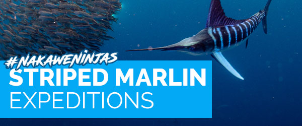 Striped marlin diving expeditions