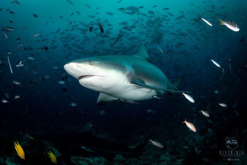 bull shark diving in Fiji