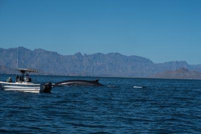 Blue whale watching in Loreto, Baja California Sur Mexico