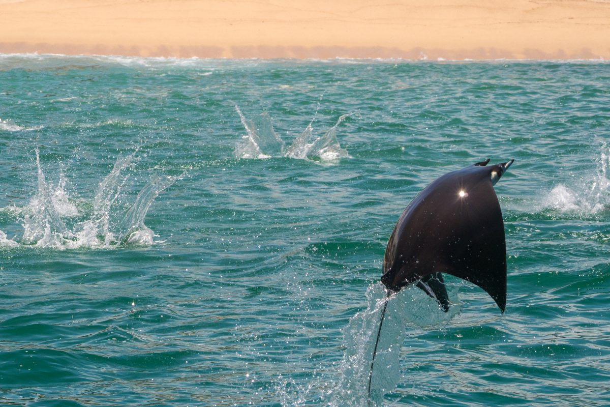 Mobula ray tours sea of Cortez cabo san lucas