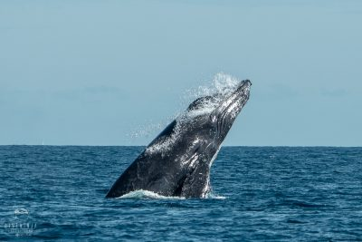 humpback whale watching in Cabo San Lucas, Baja California Sur, Mexico