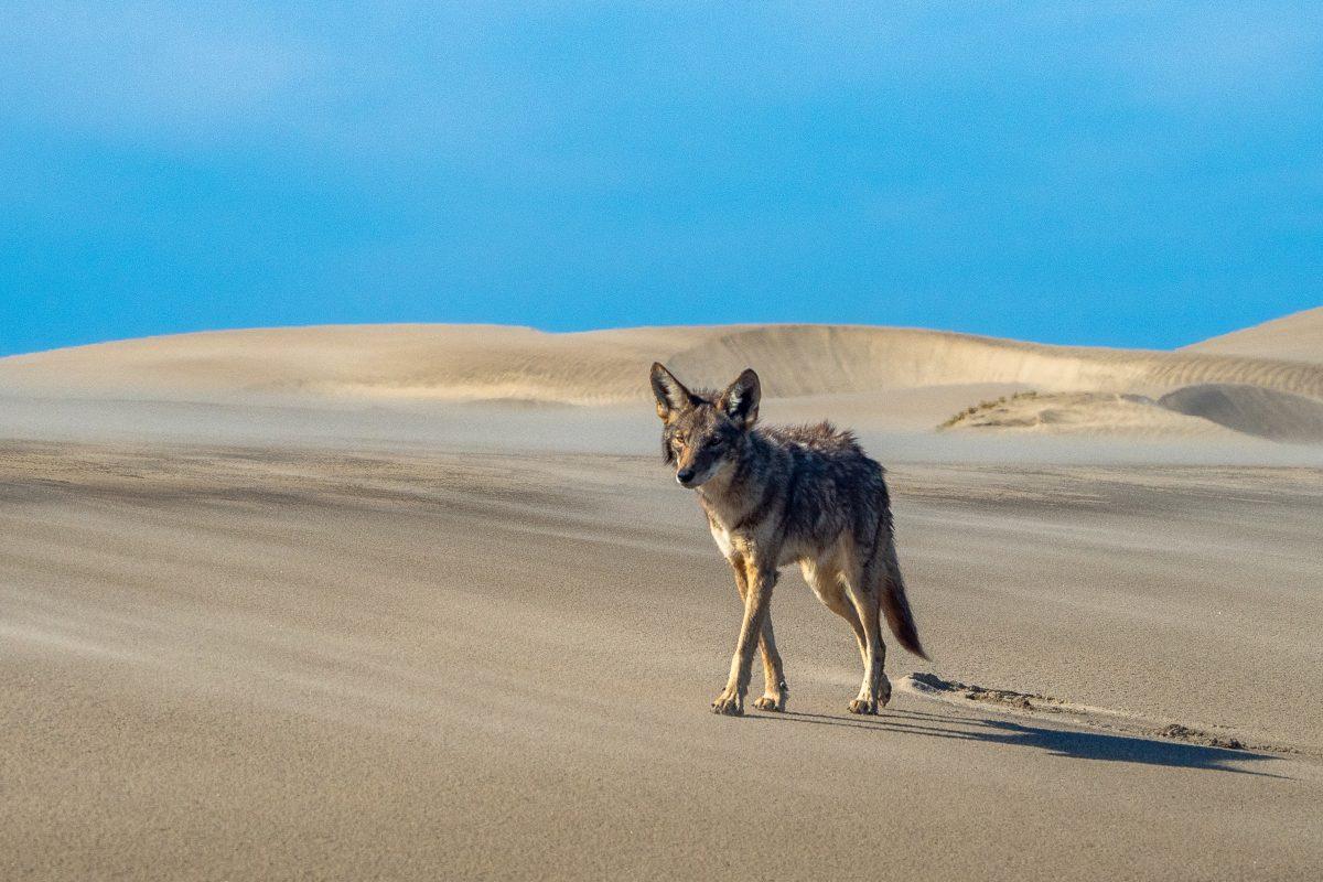Coyote in Bahia Magdalena