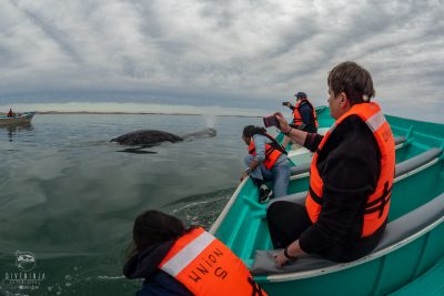 grey whale watching in mexico