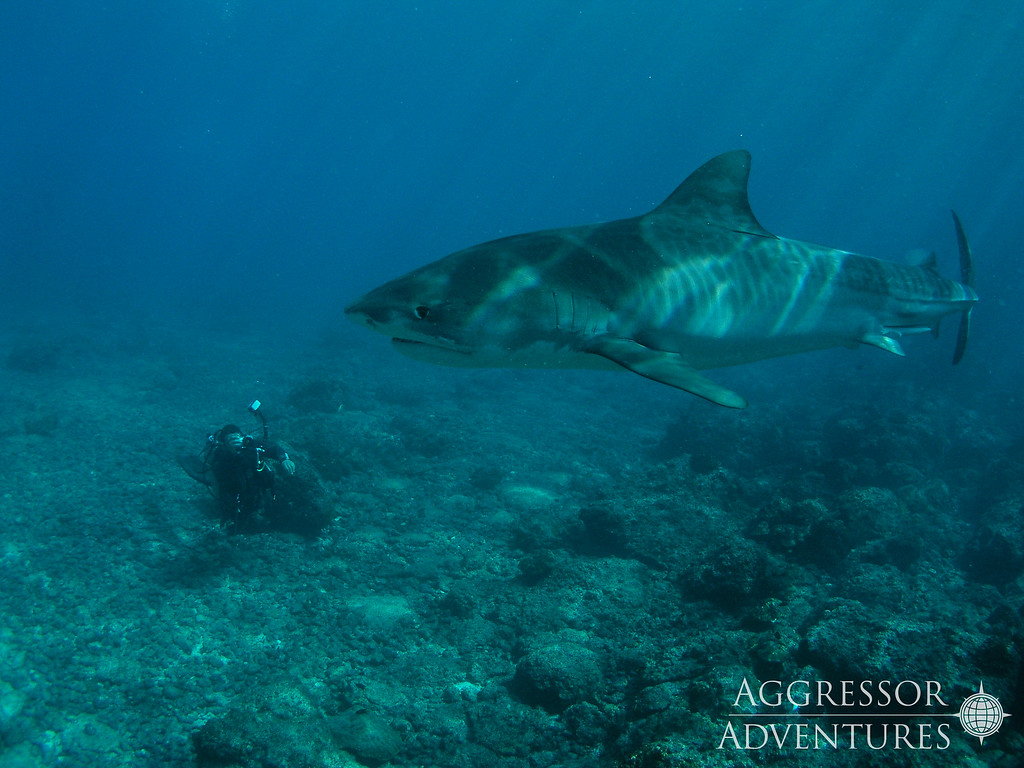 Tiger shark diving at Cocos Island