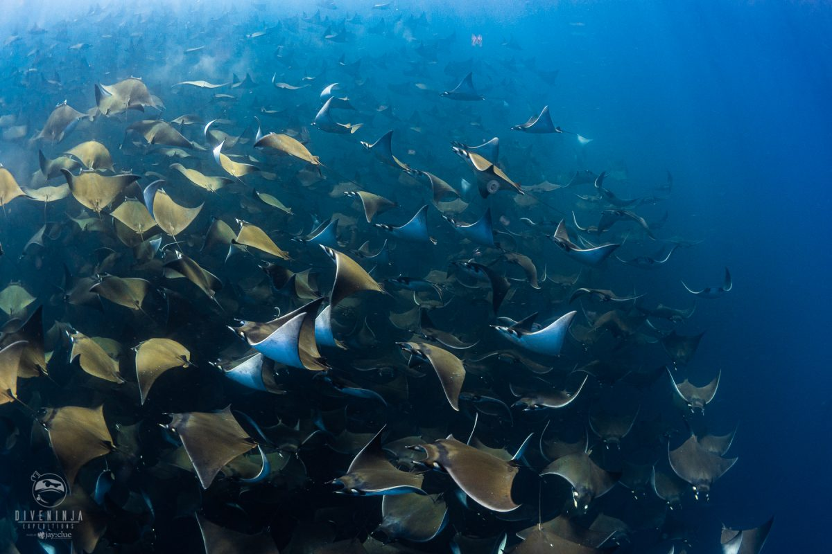 Diving with Mobula Rays in Baja California Sur, Mexico