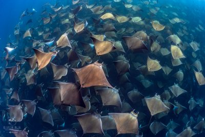 Mobula Rays in Baja California Sur, Mexico