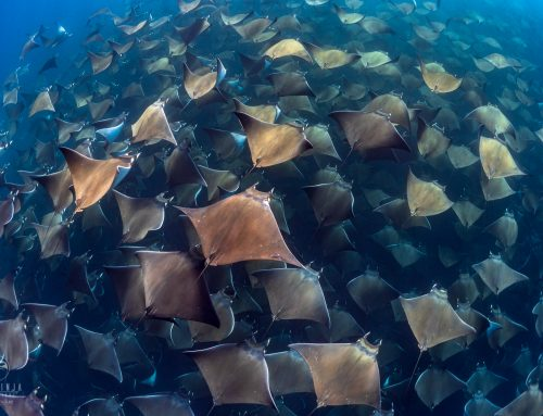 The Mobula Rays of Baja California Mexico