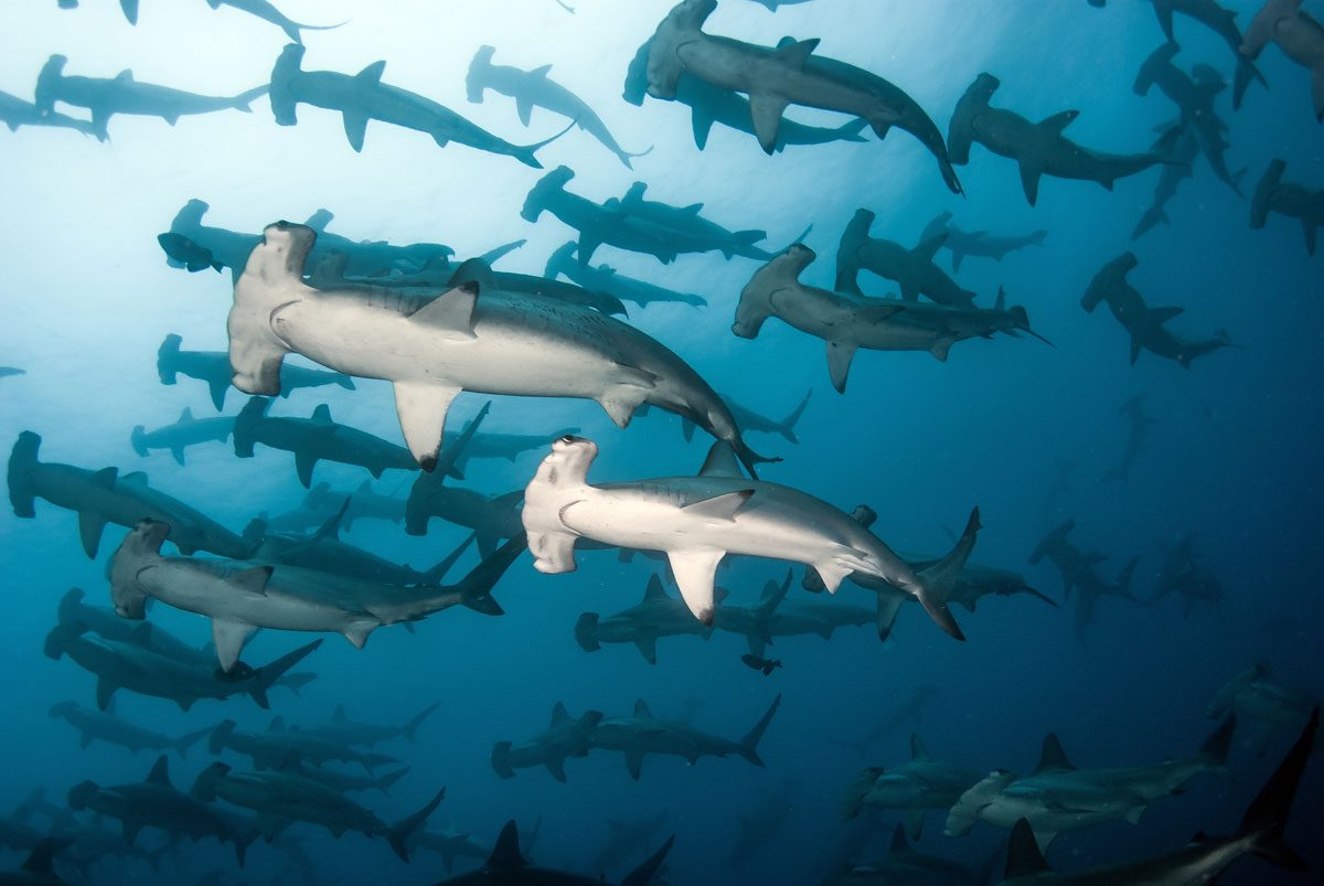 Cocos Island scuba diving shark conservation