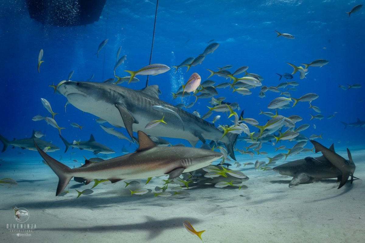 Tiger shark diving in Bahamas with Dive Ninja Expeditions