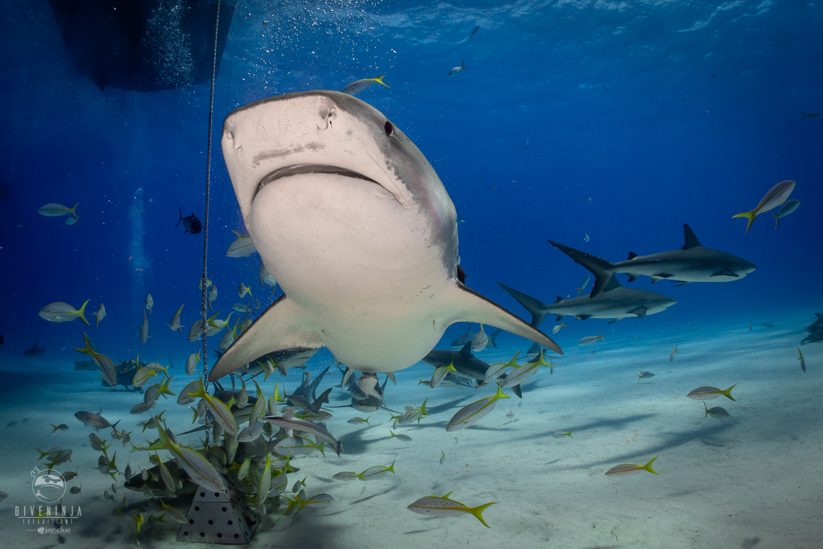 Diving with Sharks in The Bahamas with Dive Ninja Expeditions