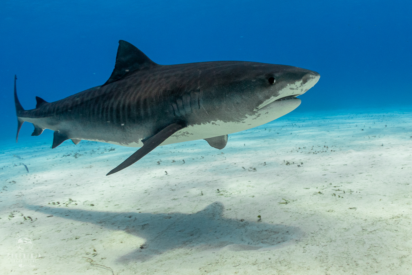 Dive Ninja Expeditions Tiger Beach Bahamas Liveaboard Trip with Aggressor Liveaboards