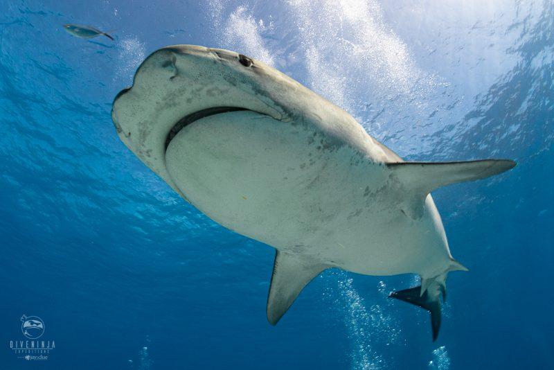 Jitterbug the Tiger Shark, on expedition with Dive Ninjas