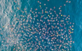 drone photo of a gigantic school of mobula rays off the coast of Mexico