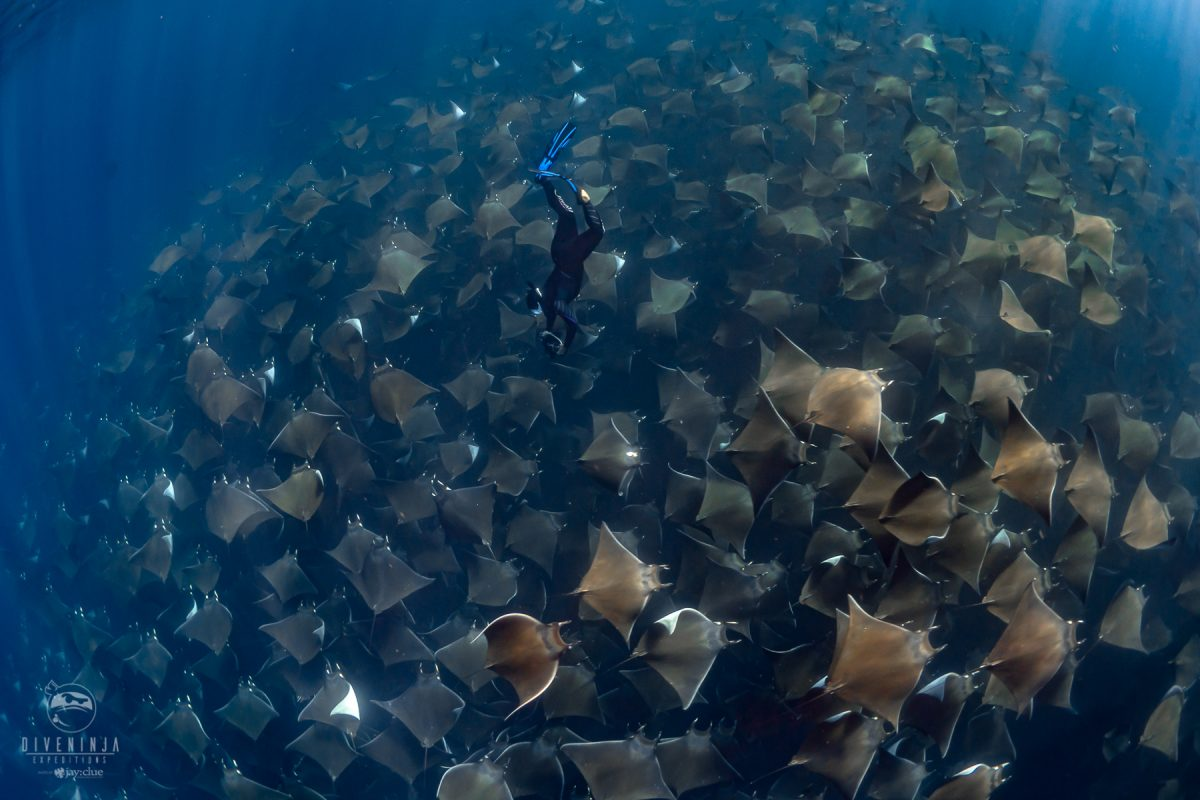 Nadia Aly diving into a giant school of rays in Mexico
