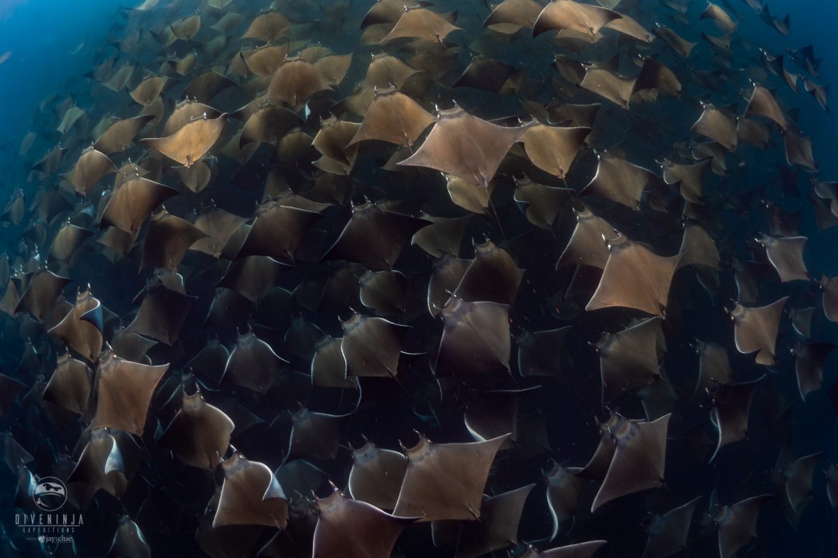 diving with mobula rays in sea of cortez mexico
