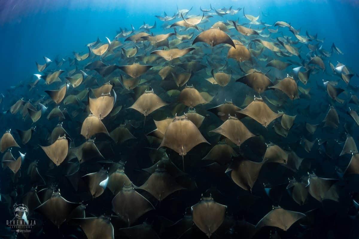 schooling Mobula Rays in the sea of Cortez, Baja California Sur Mexico