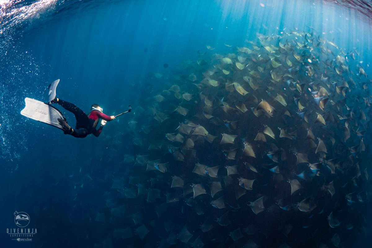 freediving with schools of Mobula Rays in Mexico Sea of Cortez