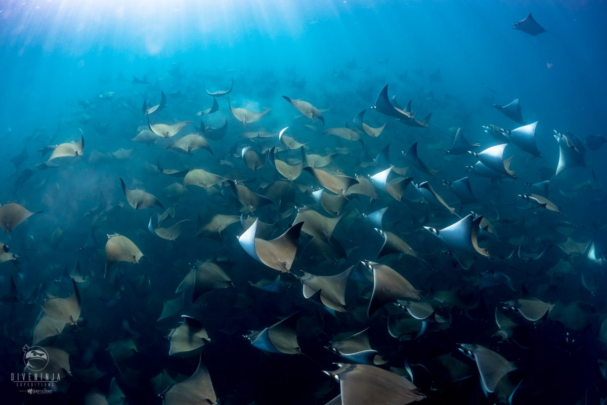 diving with schools of Mobula Rays in Mexico