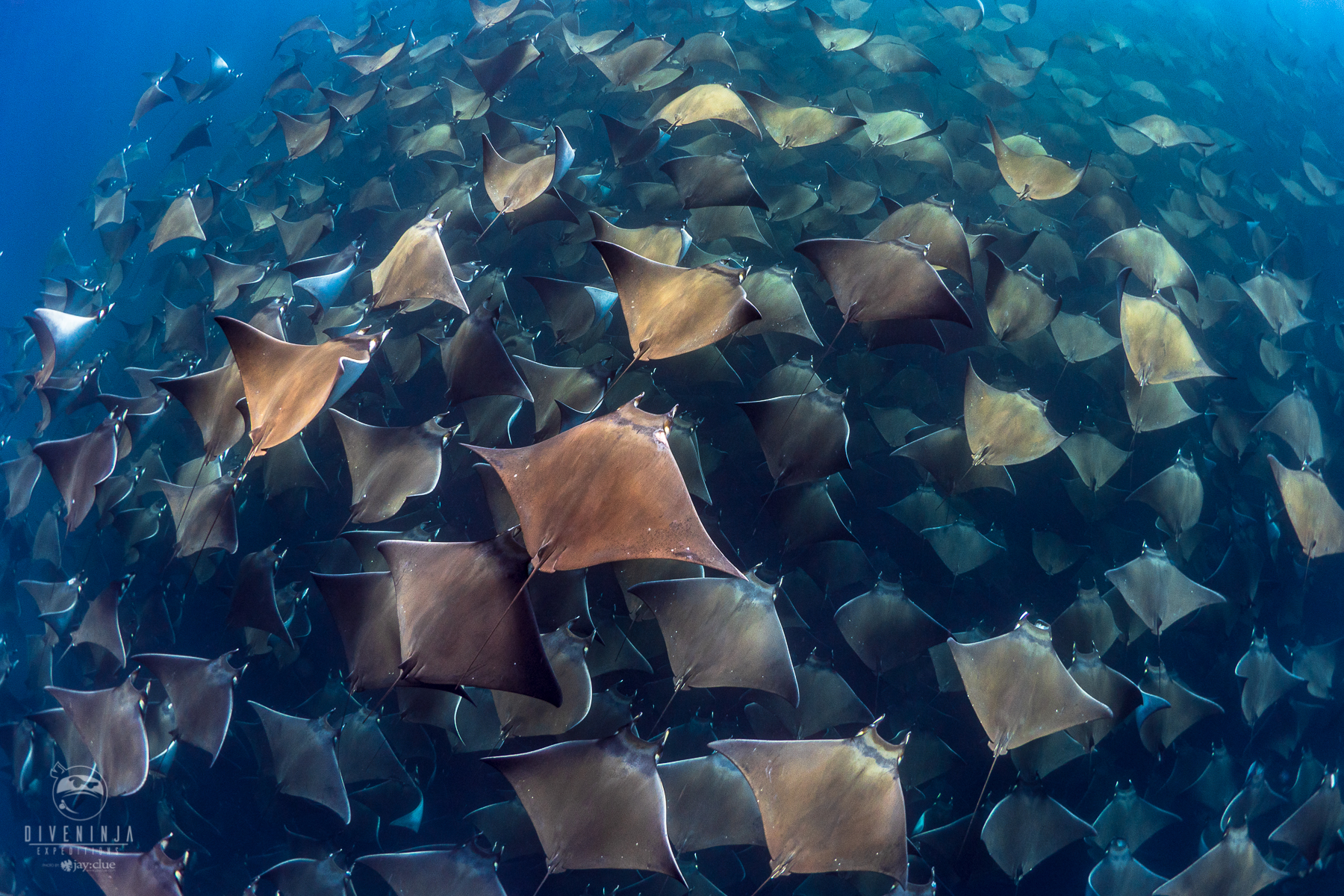 diving with Mobula Rays in Baja California Mexico