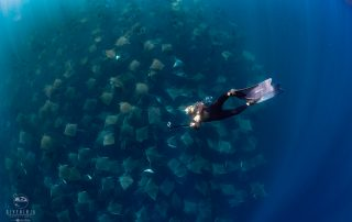 freediving with schools of Mobula Rays in Mexico