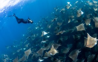 diving with Mobula Rays in La Paz Baja California Sur Mexico