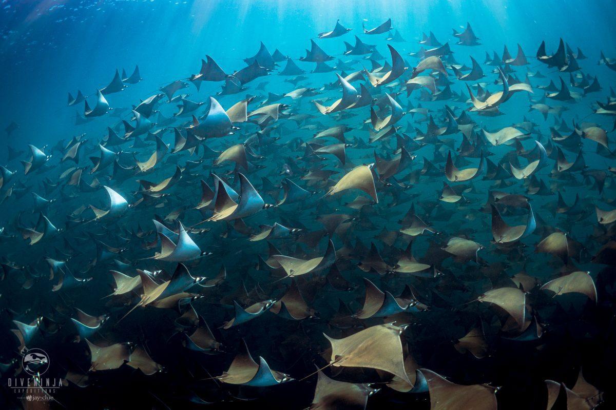 Mobula ray tours sea of Cortez cabo san lucas