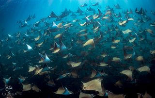 diving with schools of Mobula Rays in Baja California Mexico