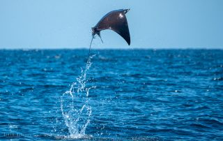 Mobula ray leaping from the water off the coast of Los Cabos, Mexico