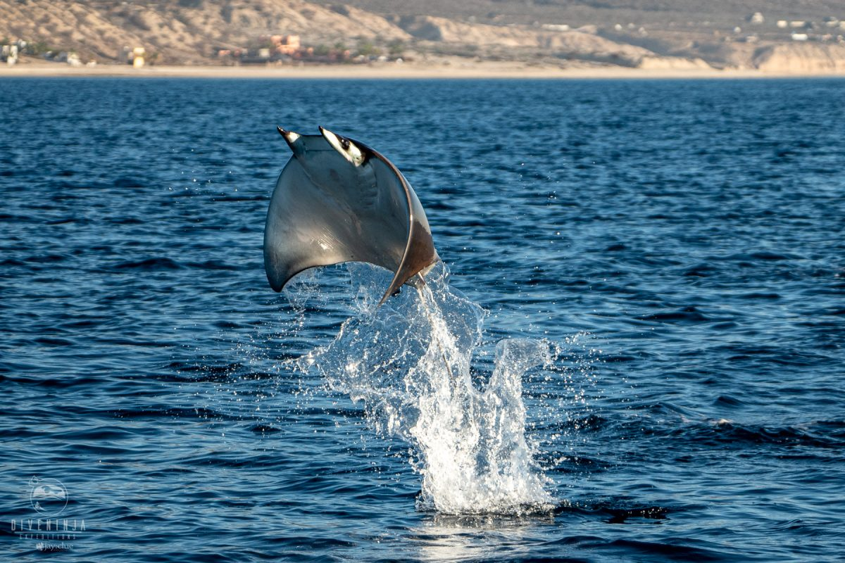 mobula ray jumping from the water in the Sea of Cortez Cabo