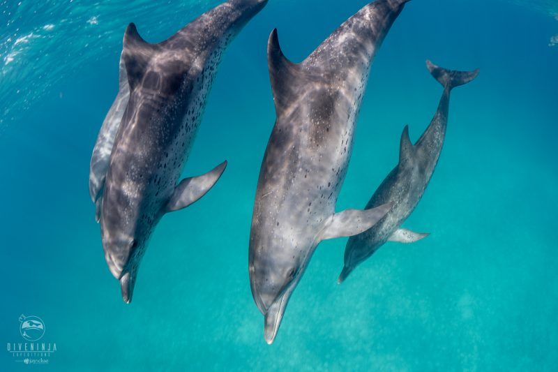 Snorkeling with wild dolphins in Bimini with Dive Ninja Expeditions