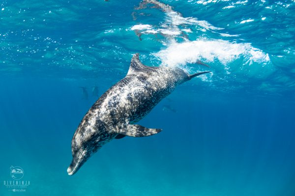 Freediving with wild dolphins in Bimini, Bahamas with Dive Ninja Expeditions & Neal Watsons Bimini Scuba Center