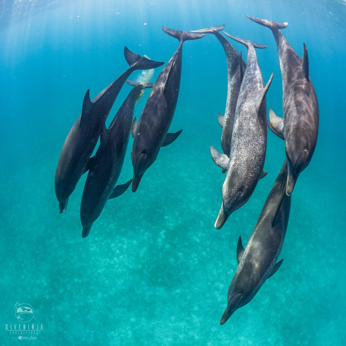 Snorkeling and Freediving with Atlantic Spotted Dolphins in Bimini - Dive Ninja Expeditions