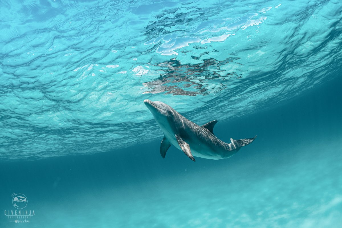 snorkeling & freediving with wild dolphins in the Bahamas