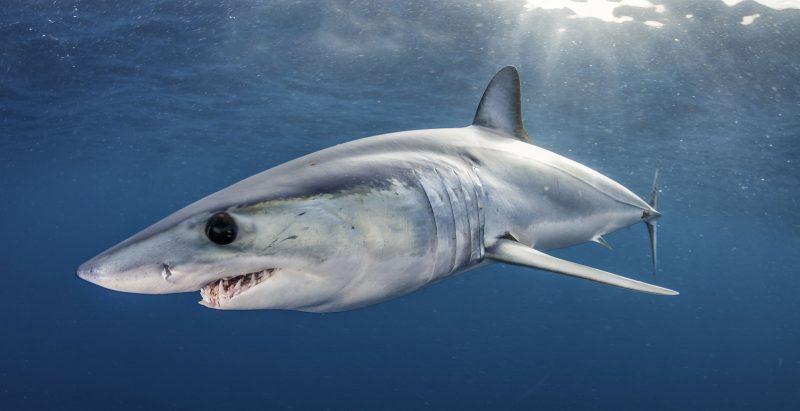 Scuba girls silky shark diving in Cabo San Lucas, Mexico